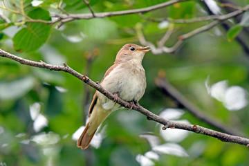 Nachtigall (Luscinia megarhynchos) - nightingale Fototapete
