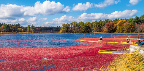 Cranberry harvest in autumn when bogs are flooded and bright red cranberry fruits float to the surface in a brilliant fall display of color and a mainstay of the agricultural industry in New England.