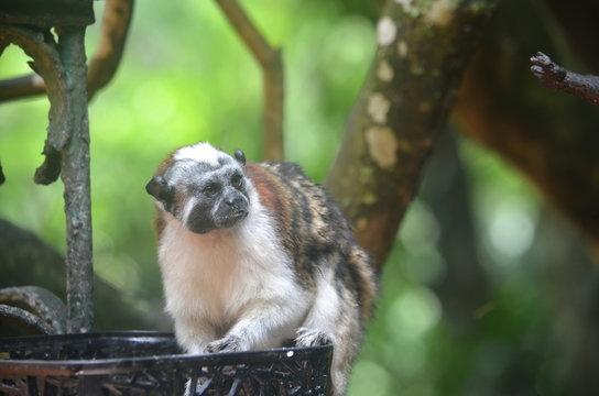 un mono titi sentado en la canasta buscando comida