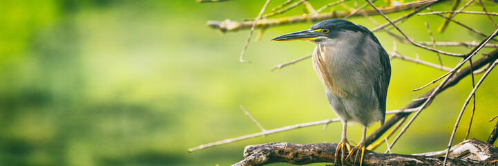 Aluminium Prints Bird Striated Heron on Galapagos Islands foraging and catching and eating food on Tortuga Bay, Santa Cruz Island. Amazing bird animals wildlife nature of Galapagos, Ecuador.
