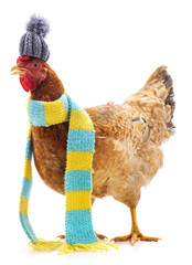 Photo sur Aluminium Poules Chicken in a scarf.