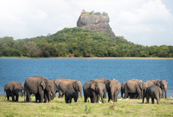 Group of Elephants near Sigiriya lion rock fortress in Sigiriya, Sri Lanka