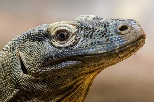Komodo Dragon (Varanus komodensis)