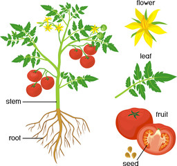 Parts of plant. Morphology of tomato plant with green leaves, red fruits, yellow flowers and root system isolated on white background with titles