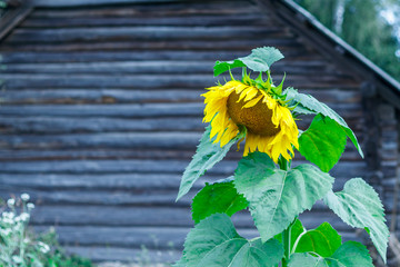 one sunflower. in the background is a house made of wood. eco product