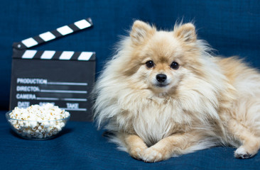 Serious Pomeranian puppy, funny dog spitz on the couch is waiting for an old-style movie, still life. Ð¡lapperboard, popcorn.