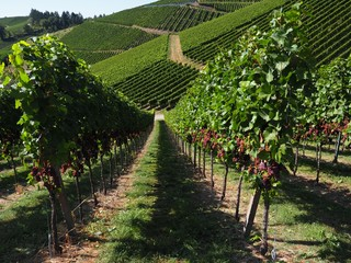 Bavarian vineyards ready for harvest