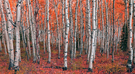Colorful fall aspens in the Wasatch Mountains, Utah, USA.
