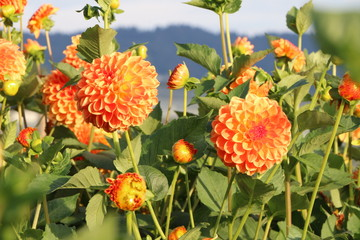 Dahlien in einem Garten, orangefarbene Pompondahlien, Blumengarten