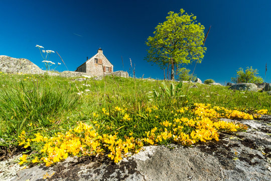 Yellow flowers, probably gold buttons in front of a house on the Aubrac plateau