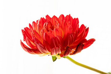 Close up of red dahlia with stem on white background