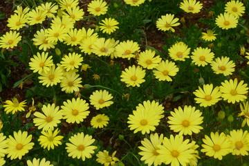 Yellow Daisy Field in Dallas Arboretum and Botanical Garden