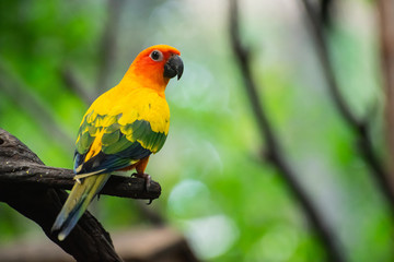 Poster Perroquets Beautiful parrot, Sun Conure on tree branch