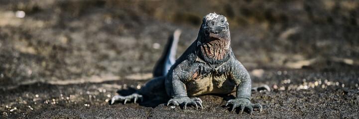 Galapagos Iguana in Galapagos Islands. Panoramic banner. Marine iguana is an endemic species in Galapagos Islands Animals, wildlife and nature of Ecuador.