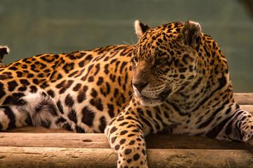 onça pintada brasileira ou jaguar sul-americano