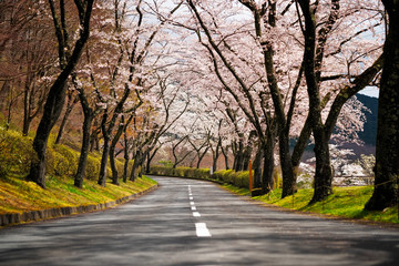 Wall Mural - Cherry Blossom Path and road