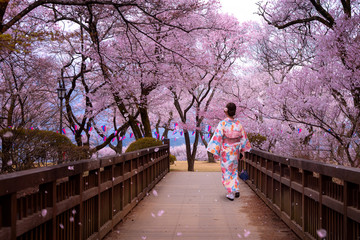 Wall Mural - traveller girl walk on the wooden bridge in sakura flower garden