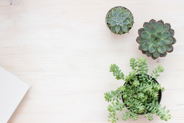 different succulents plants on a white surface. free space for text. top view / flat lay