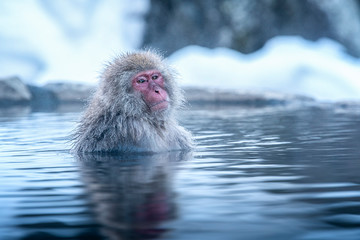 Poster de jardin Singe Travel Asia. The Red-cheeked monkey is soaking in the water to relax the cold happily. During winter, You see monkeys soaking at Hakodate is popular hot spring. The snow monkeys soak in Japan.