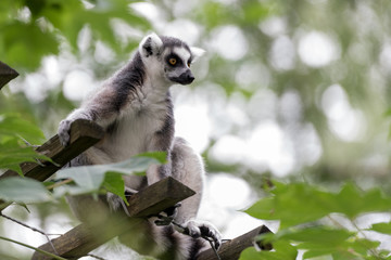 Foto auf Acrylglas Affe ring-tailed lemur looks around