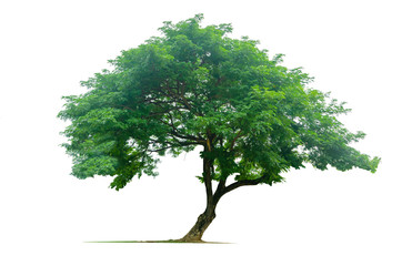 Tree isolated on white background Wall mural