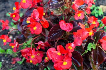 Red flower begonia on dark background