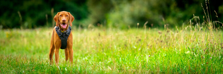 Gorgeous magyar vizsla puppy wearing dog harness standing in a middle of a meadow. Dog portrait outdoors banner.
