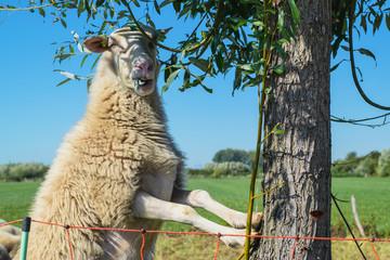 sheep climbs tree to eat leaves