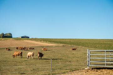 Wall Mural - Kühe und Rinder grasen auf der Weide