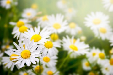 Foto op Canvas Madeliefjes Meadow with beautiful Daisies