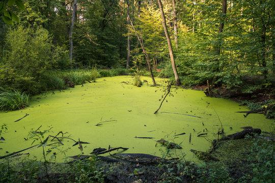 Swamp in Kabacki forest, Masovia, Poland
