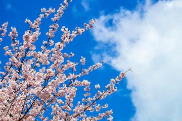 桜の花と青空と雲