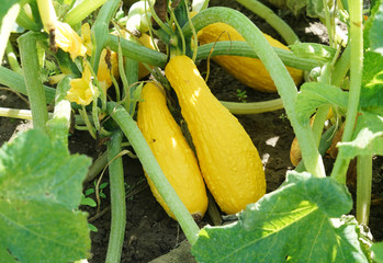 Yellow squash and plant in the farm field Wall mural