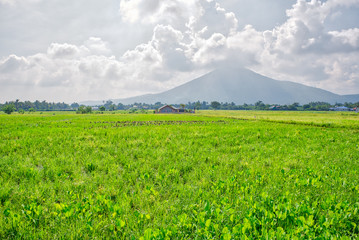 Refreshing scene of verdant rice field at Calauan, Laguna with Mt. Makiling in the background Fotoväggar