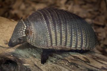 Fototapete - Big hairy armadillo (Chaetophractus villosus)