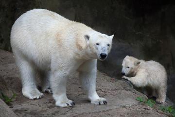 Fototapete - Polar bear (Ursus maritimus).