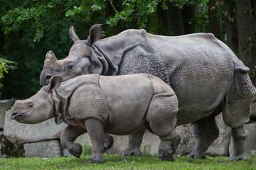 Foto op Aluminium Neushoorn Indian rhinoceros (Rhinoceros unicornis).