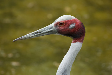 Wall Mural - Indian sarus crane (Antigone antigone antigone).