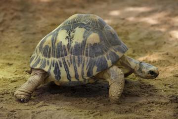 Wall Mural - Radiated tortoise (Astrochelys radiata).
