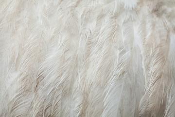 Fototapete - Greater rhea (Rhea americana). Plumage texture.