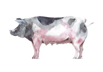 Pig farm animal watercolor painting illustration isolated on white background