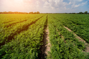 Wall Murals Vineyard Long field and rows of carrots. Blue summer sky.