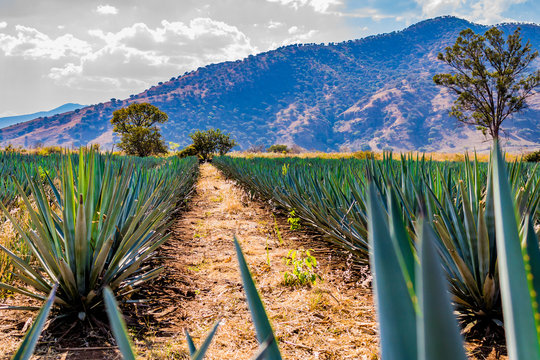 beautiful image of a path between two straight lines of blue agave in a tequila plantation with a hill and trees in the background on a wonderful and sunny day in Tequila Jalisco Mexico