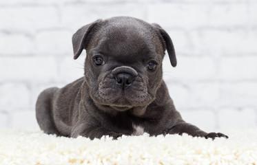 french bulldog puppy on brick wall background