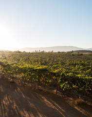View of a vineyard during sunset.