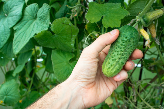 Hand of farmer hold Green cucumber on a branch in a greenhouse. Farmer family business. Delivery and sale of fresh vegetables. Seasonal Harvest. Healthy Nutrition for Vegans and Vegetarians. GMO free