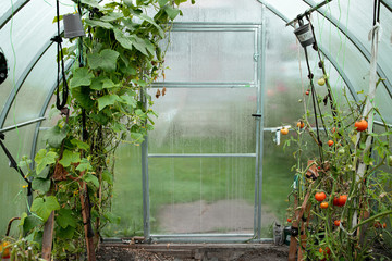 View of greenhouse indoor. The end of season. Harvest. Tomatos and cucumber on a brunches. Farmer family business. Sale and delivery vegetables. Garden Tools. GMO Free. Eco friendly food.
