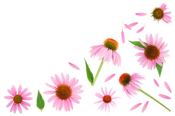 Coneflower or Echinacea purpurea isolated on white background with copy space for your text. Top view. Flat lay