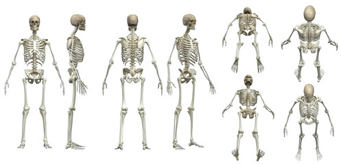 Multiple poses of skeleton white background  isolated 3d render