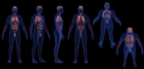 Male internal organs with cardiovascular transparent skin 3d render